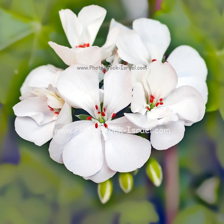 flowering White geranium artistic soft focus