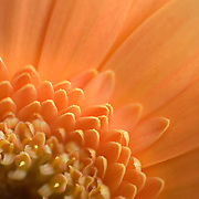 macro of a gerber daisy