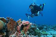 scuba diver and day octopus, Octopus cyanea, Christmas ( Kiritimati ) Island,  Line Islands, Republic of Kiribati ( Central Pacific Ocean ) MR 299