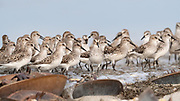Constant motion of Semipalmated Sandpiper during spring migration and the ancient connection of shorebirds feeding at the shoreline on Horseshoe Crab eggs.<br /> Delaware Bayshore, Pickering Beach
