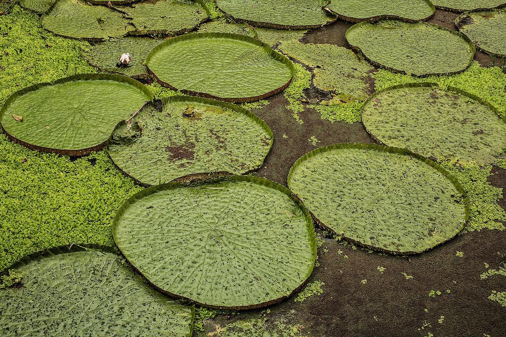 Brazil, Amazonas, rio Negro, Manaus. Nénuphars géants.