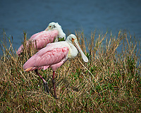 Pair of Roseate Spoonbills. Black Point Wildlife Drive, Merritt Island National Wildlife Refuge. Image taken with a Nikon D800 camera and 400 mm f/2.8 lens (ISO 100, 400 mm, f/5.6, 1/2500 sec).