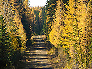A forest service road goes through a Yellow tamarack Larch (larix laricina)forest in the Umatilla National Forest, OR, USA