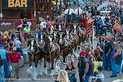 Budweiser Clydsdales parade throught the Sturgis Buffalo Chip during the annual Black Hills Motorcycle Rally. SD, USA. August 7, 2014.  Photography ©2014 Michael Lichter.