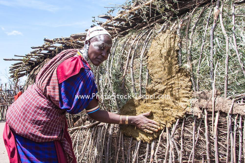 Maasai woman applies mud to a reeds hut Photographed in Kenya