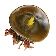 thongweed button<br /> Himanthalia elongata