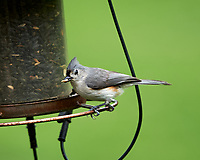 Tufted Titmouse. Image taken with a Nikon Df camera and 300 mm f/4 lens.