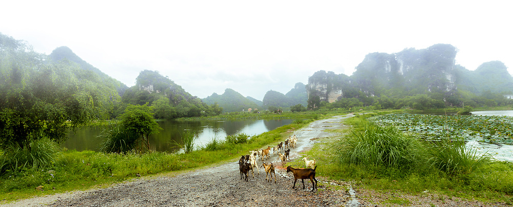A rain soaked trail and mist in the air a small herd of goats heads back into the country between a lake, and flooded rice paddies.