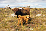 Highland cow, domestic cattle, Bos tarus, mother and  calf, Cuaig, by Applecross, Ross-shire, Highland..
