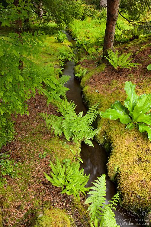 Several lady ferns (Athyrium filix-femina) line a creek that runs through the moss garden in the Bloedel Reserve on Bainbridge Island, Washington.