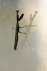 Praying Mantis, Walking Sticks Royalty Free Images