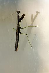05 September 2010:  Carolina Mantid or commonly know as a Praying Mantis.  Species name is stagmomantis carolina.