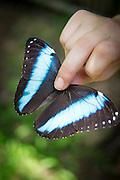 Blue-morpho Butterfly, Manu learning centre, Manu National Park, Peru, South America