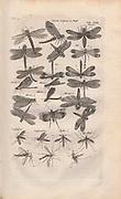 Copperplate print of dragonflies and mosquitoes from Johannes Jonston book of nature 'Dr. I. Ionstons Beschrijving vande natuur der vogelen neffens haer beeldenissen in koper gesneden' Published in Amsterdam in 1660