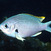 Brown Chromis inhabit reefs and adjacet rubble areas feel in open water above in Tropical West Atlantic; picture taken Grand Cayman.
