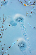 Fresh mountain lion tracks in snow in the Mission Valley, Montana, USA