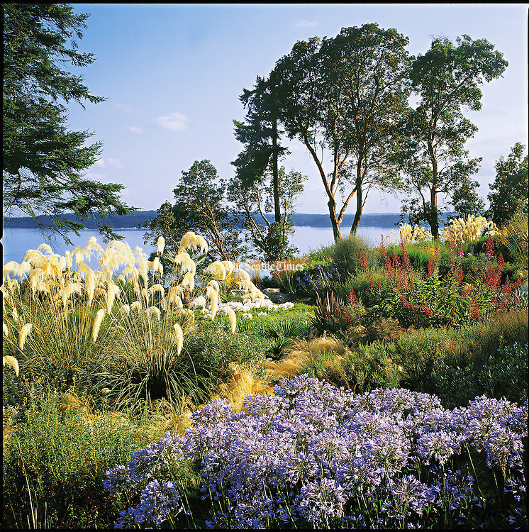 Agapanthus praecox erupt in color in mid-July. The flowers of the pampass grass, Cortaderia fulvida, at left, are cut directly after flowering to prevent reseeding. All help bring into scale the expansive view of Puget Sound beyond. (Benjamin Benschneider / The Seattle Times, 2005)