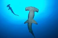 Scalloped Hammerhead Sharks from Below