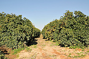 Israel, Sharon district, Citrus Grove Blood orange