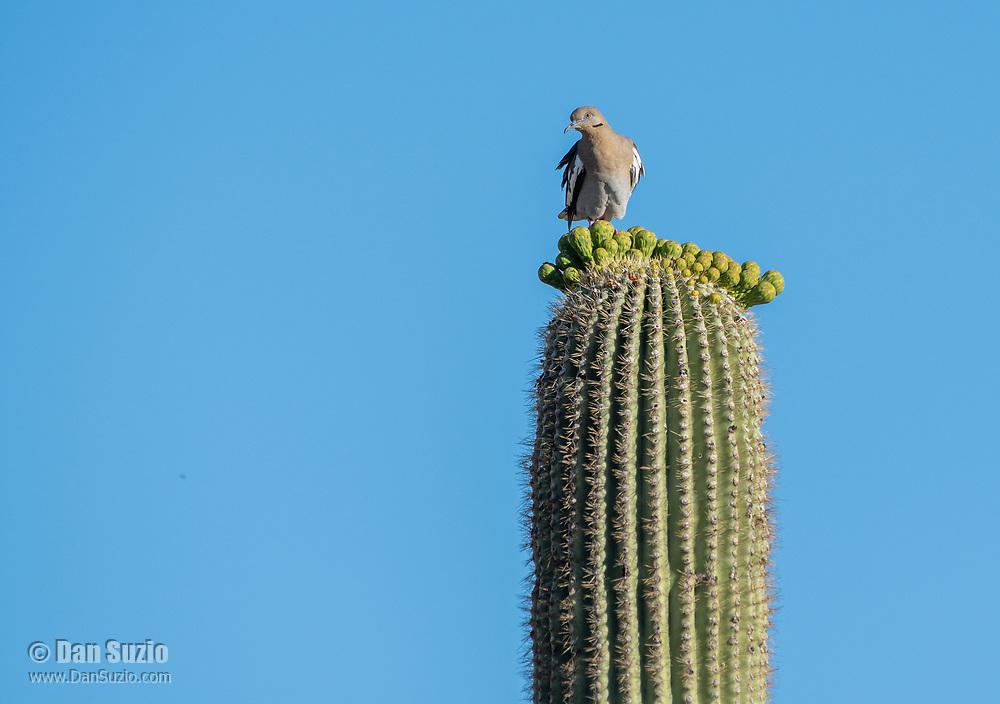 A White-winged Dove, Zenaida asiatica, perches on a Saguaro cactus, Carnegiea gigantea, in Saguaro National Park, Arizona