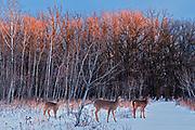 Sunset. Seine River Forest, Bois des esprits. Winnipeg, Manitoba, Canada