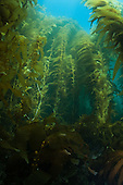 Giant Kelp - Macrocystis pyrifera