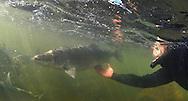 Inconnu (Sheefish)<br /> <br /> Paul Vecsei/Engbretson Underwater Photography