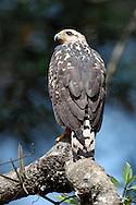 Common Black-Hawk - Buteogallus anthracinus - immature