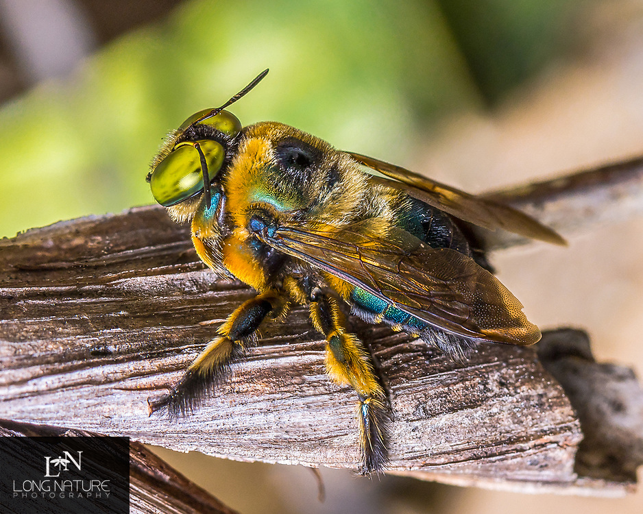 Xylocopa micans - southern carpenter bee in palmetto scrub at Charles Bronson State Forest