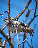Golden-crowned Kinglet. Image taken with a Nikon D2xs camera and 80-400 mm VR telephoto zoom lens.