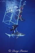 photographer James D. Watt hangs outside a shark cage and observes a sandbar shark, Carcharhinus plumbeus, North Shore, Oahu, Hawaii, USA ( Central Pacific Ocean )