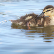 Young mallard duckling preens new feathers while bathig in pond.