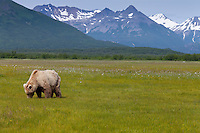 Adult brown bear grazing on sedges, wildflowers and other grasses in meadow in Hallo Bay, Katmai National Park, Alaska, summer