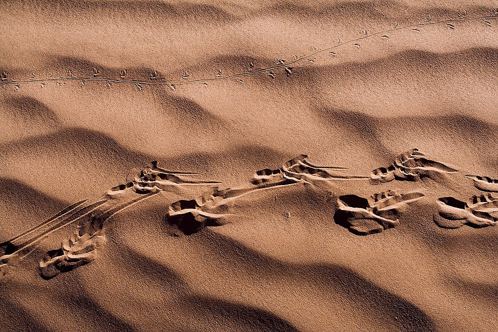 Two parallel lizard tracks through the sand large in the dunes of Erg Zehar, near M'hamid, Morocco.