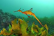 Weedy seadragon (Phyllopteryx taeniolatus) photographed in waters off southern Australia, Pacific Ocean, Indian Ocean, Southern Ocean.