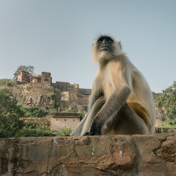 A gray langur monkeys at the Ranthambore National Park, a tiger reserve game drive.