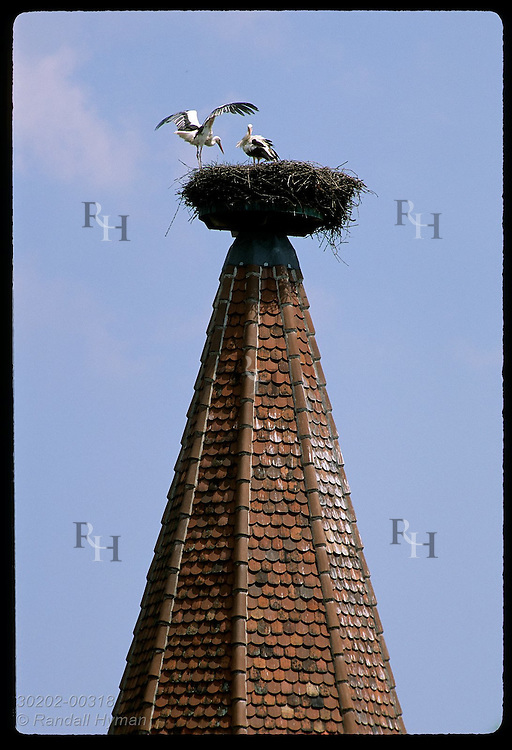 White storks (C. ciconia) nest atop platform on building spire in town of Ribeauvilla, Alsace. France