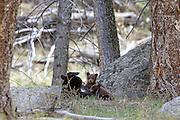 Black bear sow nursing cubs Black bear sow nursing cubs