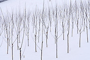Easter in Southern Styria, Austria. Sausal in the snow. Young vines.