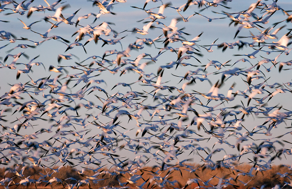 Thousands of snow geese take to the air in Bosque del Apache National Wildlife Refuge.