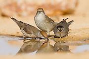 Eurasian Blackcap (Sylvia atricapilla) group near a water puddle, negev desert, israel