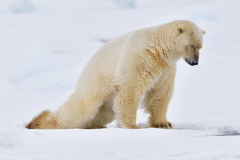 Polar bear doing push-ups, Ursus maritimus, Svalbard, Spitzbergen, Arctic Norway