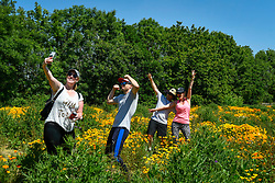 © Licensed to London News Pictures. 30/05/2020. WATFORD, UK. Visitors take a selfie amongst the California poppies (Eschscholzia californica) currently flowering on a sunny day in a field in Watford.  The UK has experienced the sunniest spring since records began in 1929 including the driest May in some areas.  Photo credit: Stephen Chung/LNP