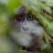 "Face of Silverback Mountain Gorilla ""Bakwate"" (Gorilla berengei berengei) from the Oruzogo family in Bwindi Impenetrable National Park, Uganda."