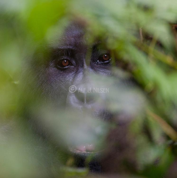 "Face of Silverback Mountain Gorilla ""Bakwate"" (Gorilla berengei berengei) from the Oruzogo family in Bwindi Impenetrable National Park, Uganda."