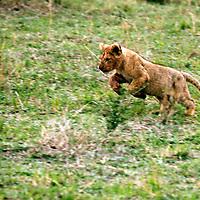 Africa, Kenya, Maasai Mara. Lion cub practising his pounce.