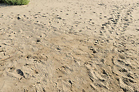 When emerging from the nest after nearly two months of incubation the loggerhead sea turtle (Caretta caretta) hatchlings leave characteristic patterns of tracks in the soft sand.