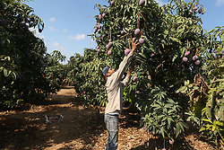 August 22, 2017 - Gaza, Palestinian Territories, Palestine - A Palestinian man picks Mango at his field during the harvest season in the center of Gaza strip, on August 22, 2017. (Credit Image: © Momen Faiz/NurPhoto via ZUMA Press)