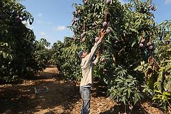 August 22, 2017 - Gaza, Palestinian Territories, Palestine - A Palestinian man picks Mango at his field during the harvest season in the center of Gaza strip, on August 22, 2017. (Credit Image: © Momen Faiz/NurPhoto via ZUMA Press)