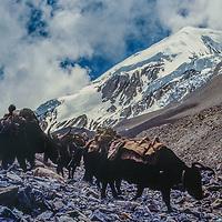 A trader and his caravan of yaks crosses 17,769-foot Thorang La pass north of Annapurna in Nepal.